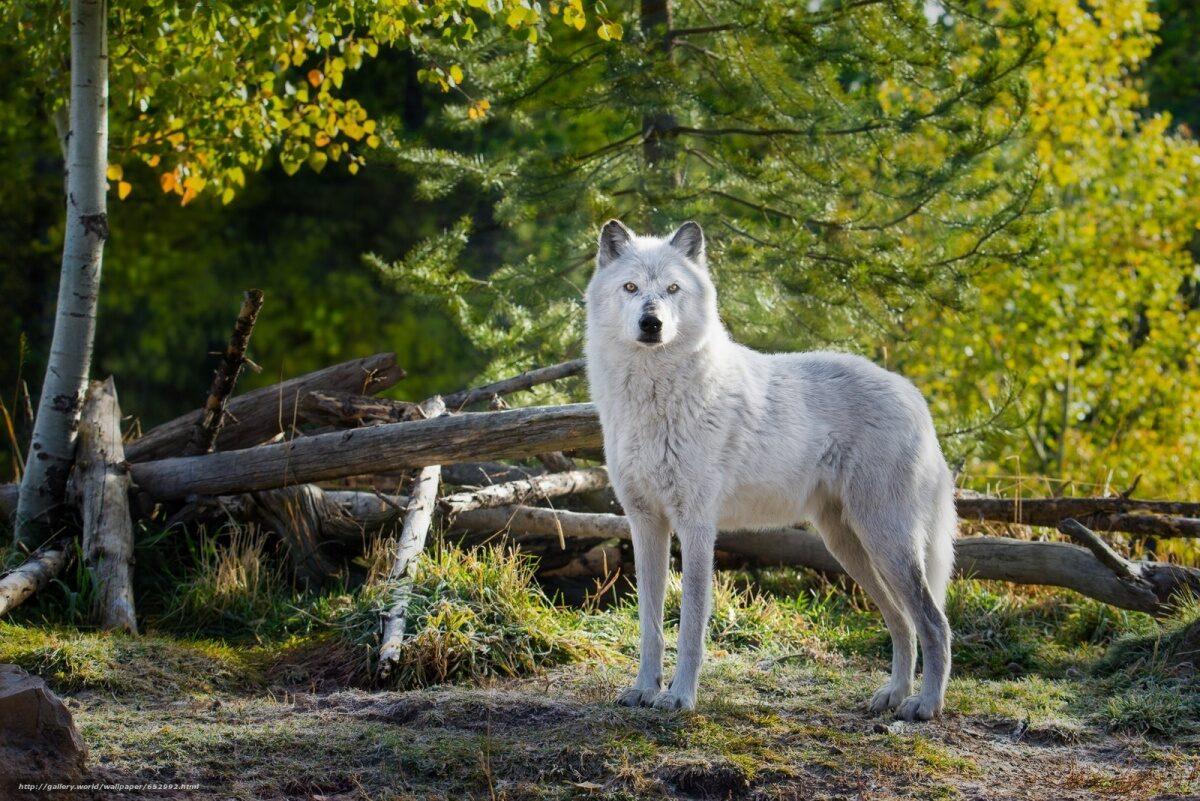 Посадка деревьев, чума свиней и польза от волков