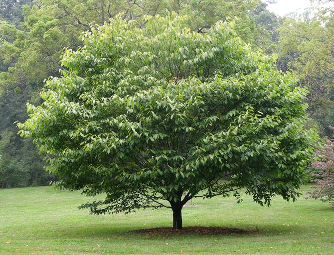 Одно дерево за сутки выделяет кислород, которого достаточно для двух людей.